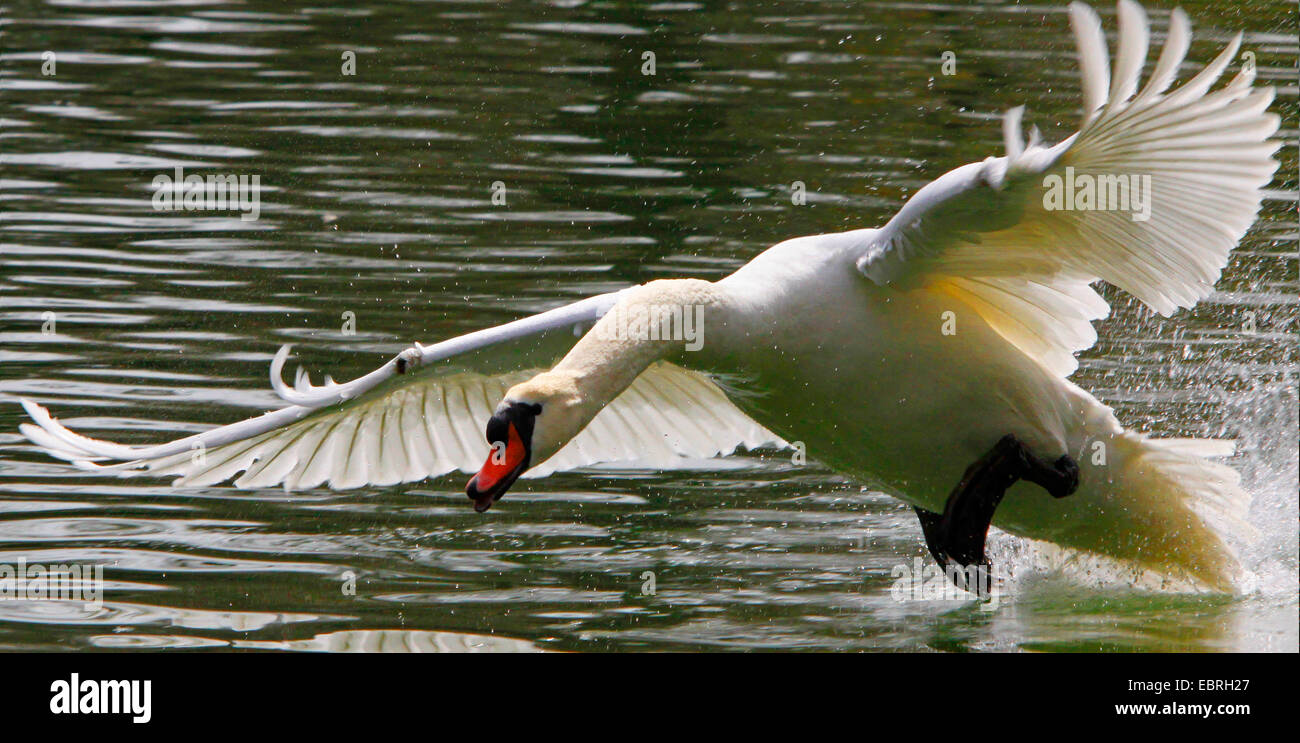 mute swan (Cygnus olor), running on water surface and attacks, Germany - Stock Image