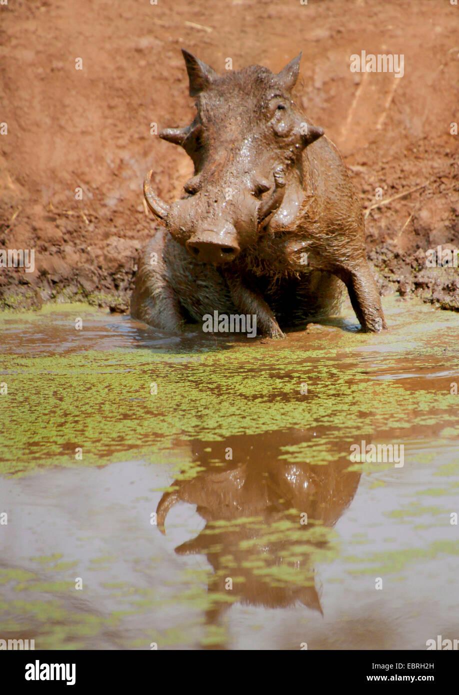 common warthog, savanna warthog (Phacochoerus africanus), at a water hole, Kenya - Stock Image
