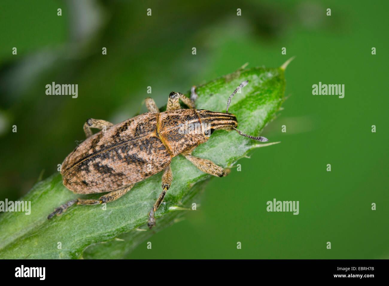 Sluggish weevil, Large Thistle Weevil (Cleonis pigra