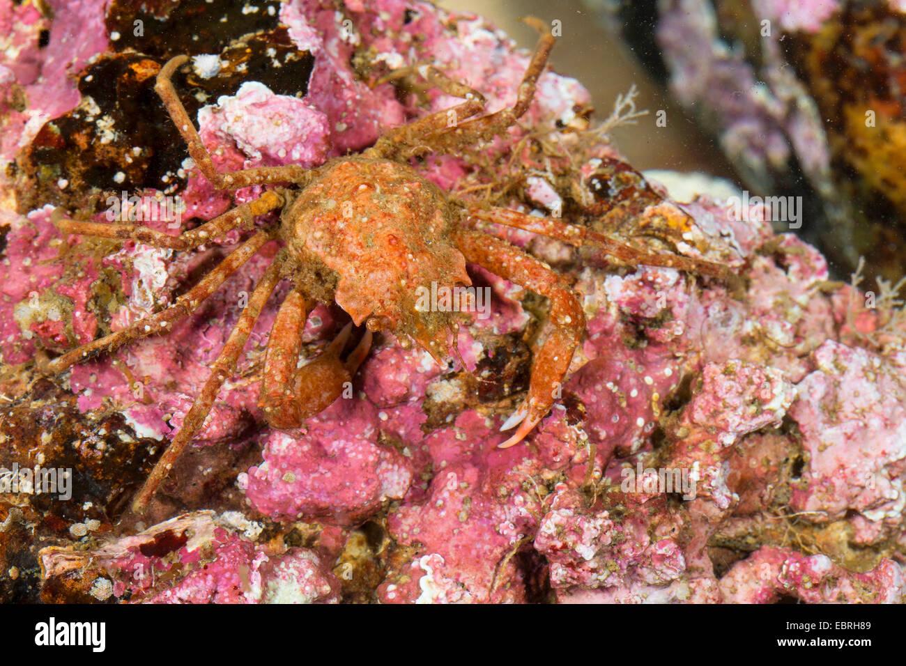 Contracted crab, Arctic lyre crab, Toad crab, Spider crab (Hyas coarctatus, Hyas serratus), top view - Stock Image