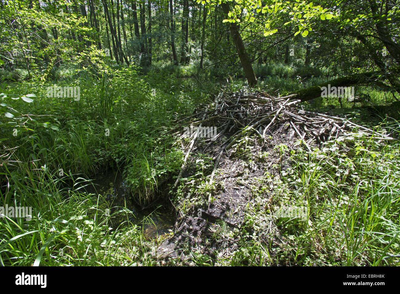beaver lodge in a floodplain forest, Germany - Stock Image