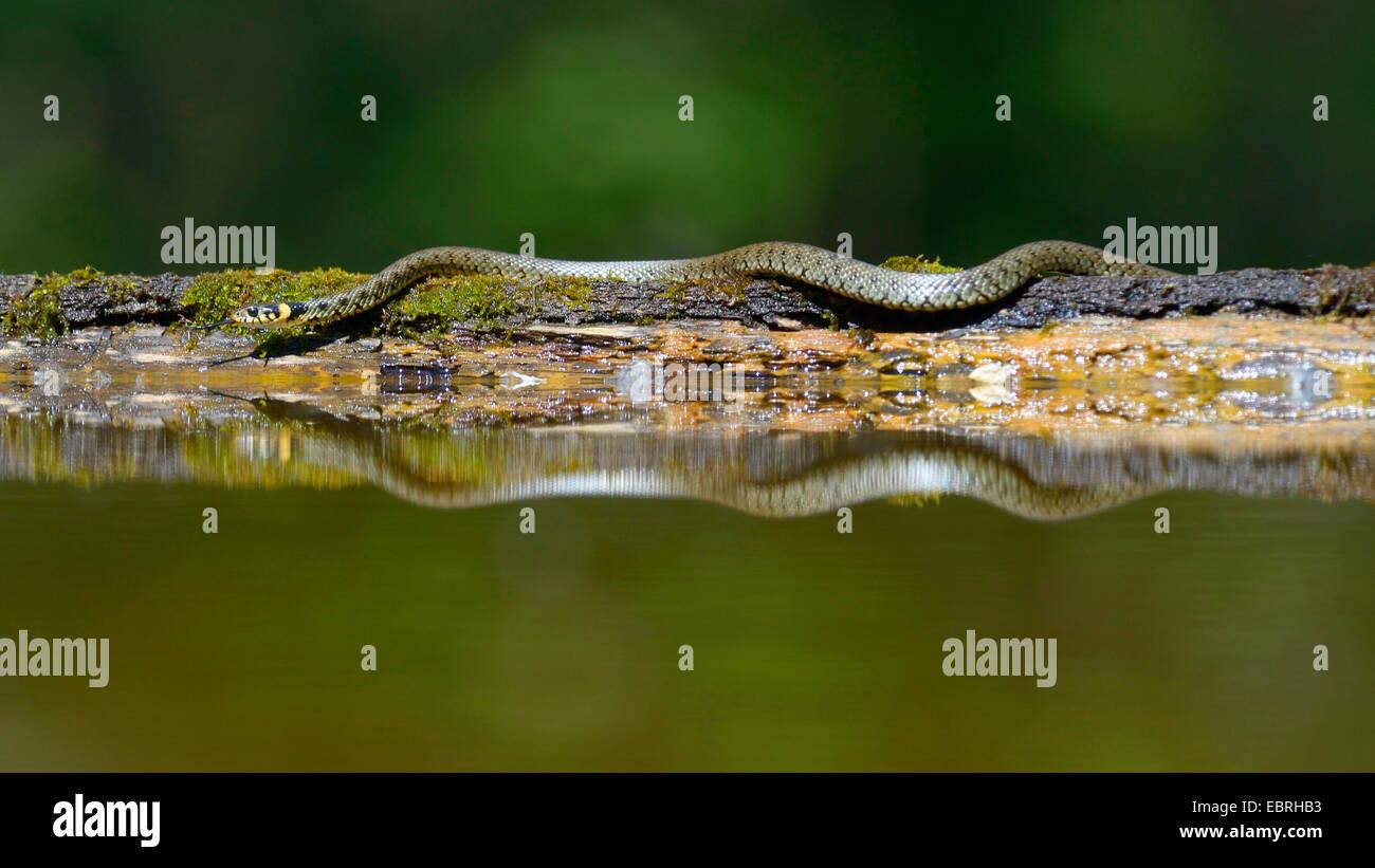 grass snake (Natrix natrix), at water mit mirror image, Germany - Stock Image