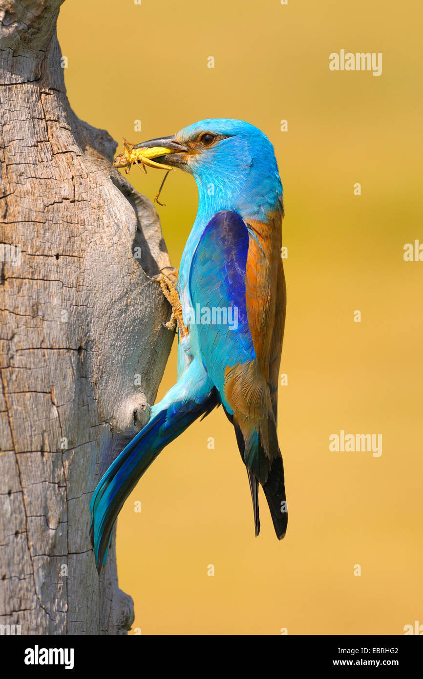 European roller (Coracias garrulus), at the breeding cave with prey in the bill, Hungary Stock Photo