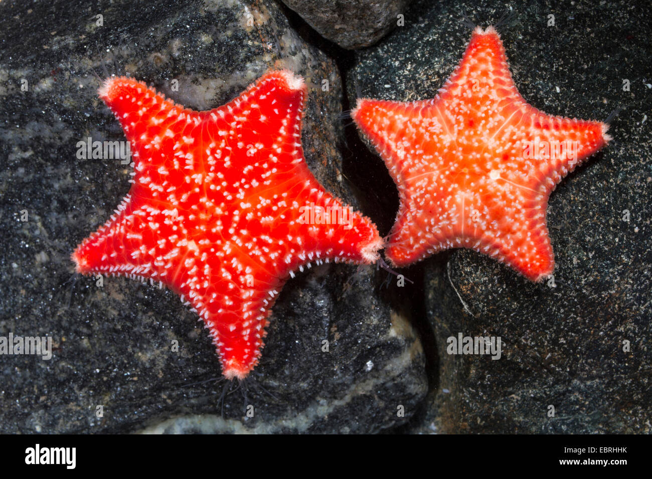 Red Cushion Star, Red cushion (Porania pulvillus), two individuals - Stock Image