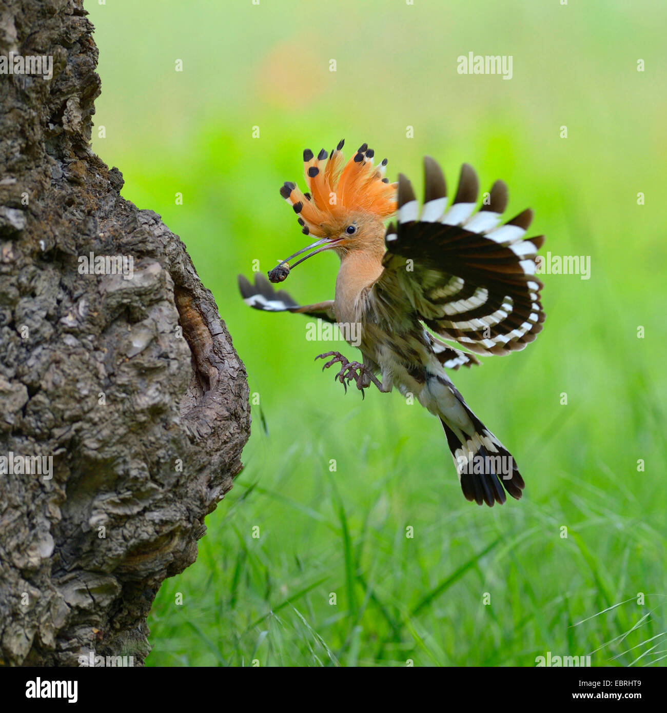 hoopoe (Upupa epops), approaching the breeding cave with feed in the bill, Hungary Stock Photo