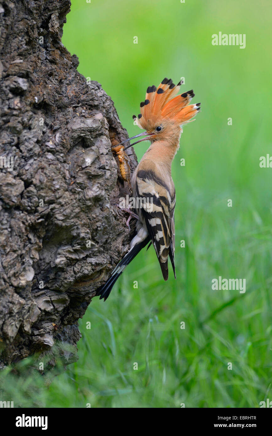hoopoe (Upupa epops), at the breeding cave with a mole cricket in the bill, Hungary Stock Photo