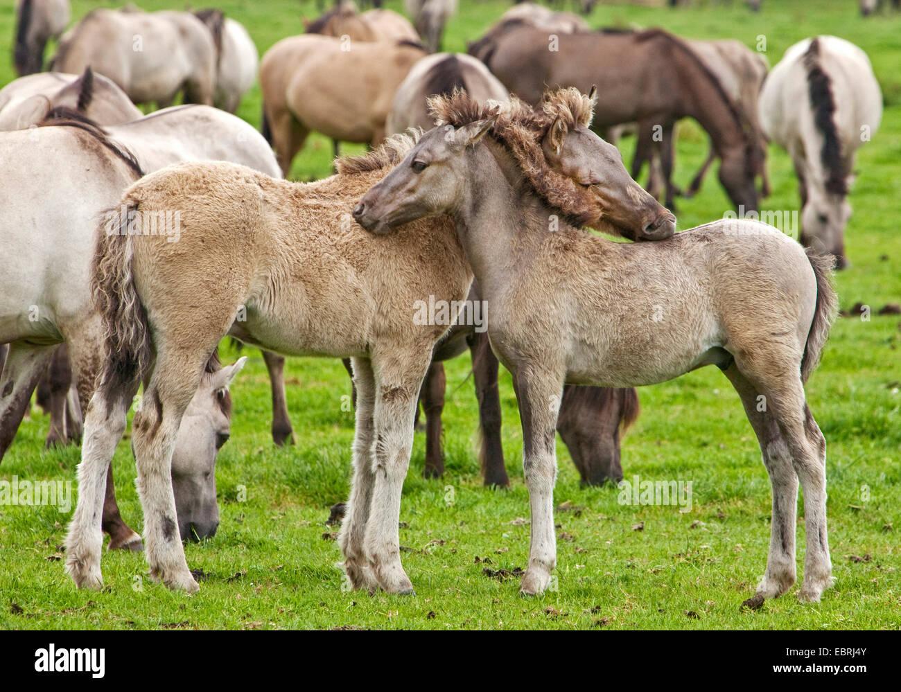 Duelmen pony, Dulmen pony, Duelmener Wildpferd, Dulmener Wildpferd (Equus przewalskii f. caballus), foals in the Stock Photo