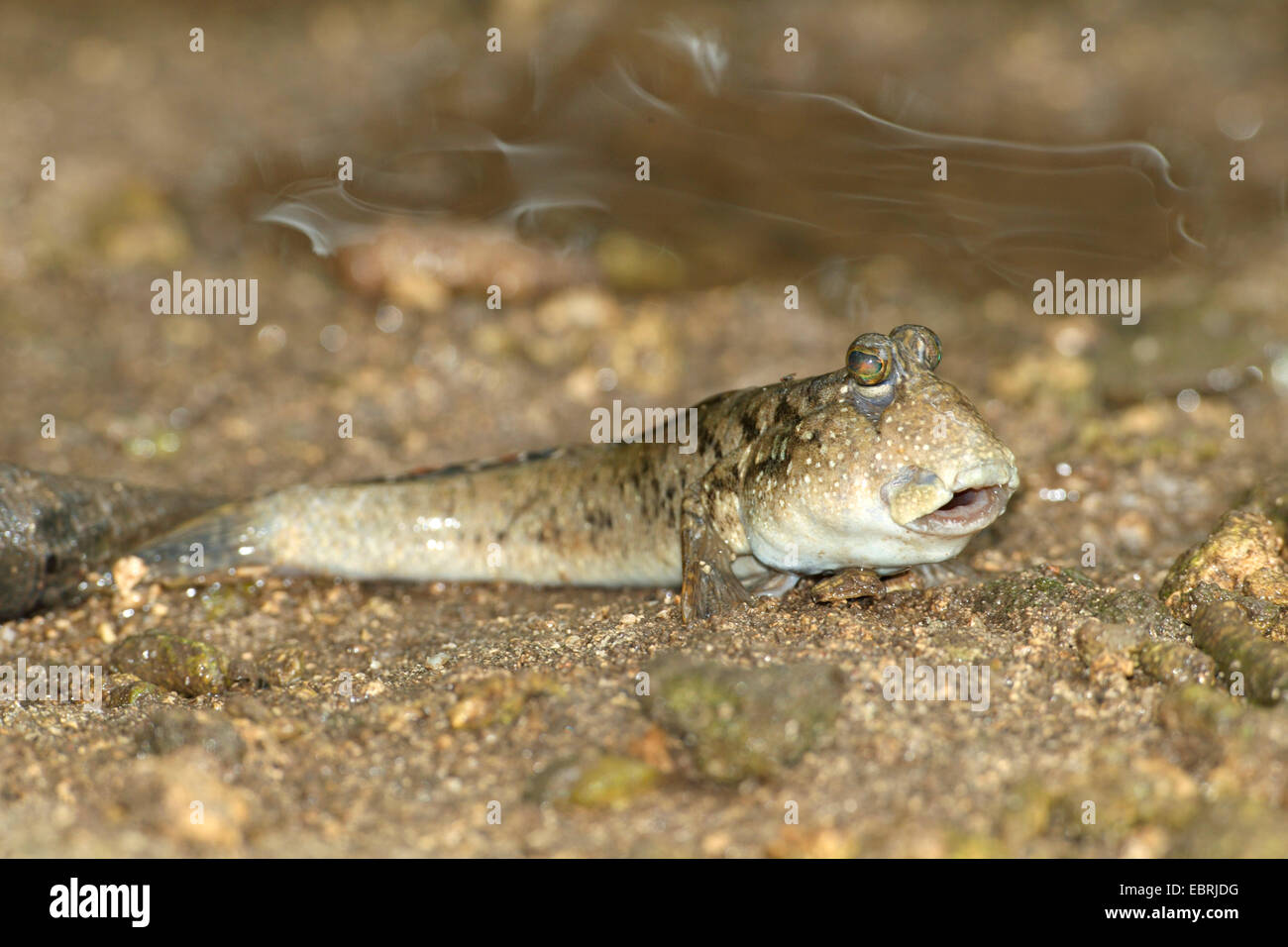 mudskippers, mudhoppers, climbing-fish (Periophthalmus spec.), on the shore, Seychelles, Mahe - Stock Image