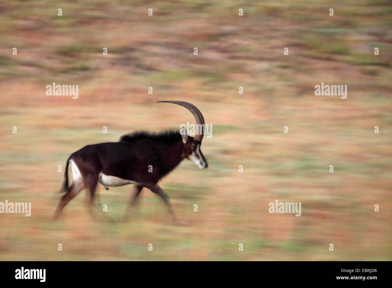 South African Sable Antelope (Hippotragus niger niger), running male, South Africa, Kgaswane Mountain Reserve - Stock Image
