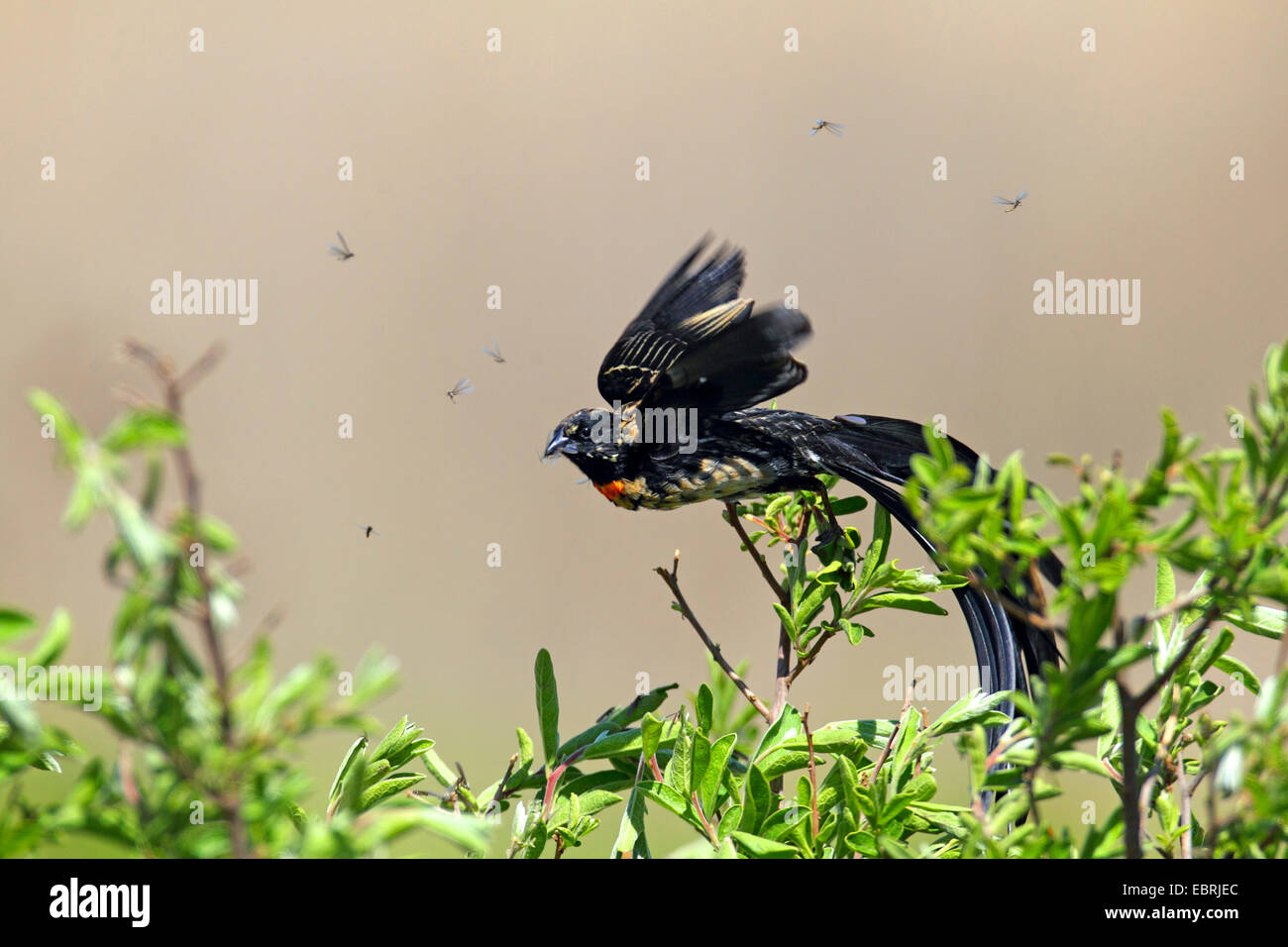 red-collared whydah (Euplectes ardens), male flys off a shrub, South Africa, North-West Province, Kgaswane Mountain - Stock Image