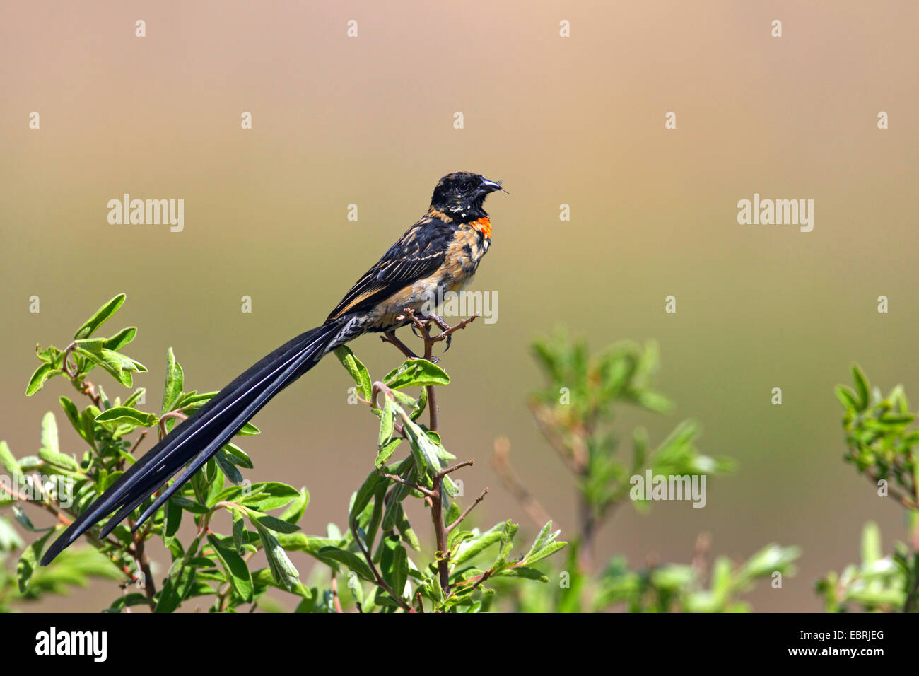 red-collared whydah (Euplectes ardens), male sits on a shrub with insects in its bill, South Africa, North-West - Stock Image