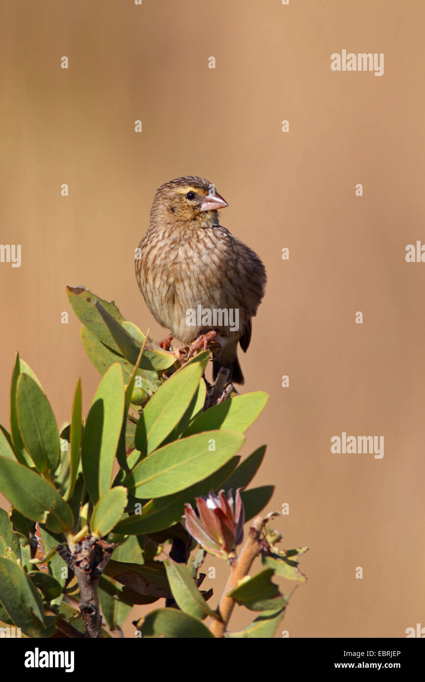 red-collared whydah (Euplectes ardens), female sits on a shrub, South Africa, North-West Province, Kgaswane Mountain - Stock Image