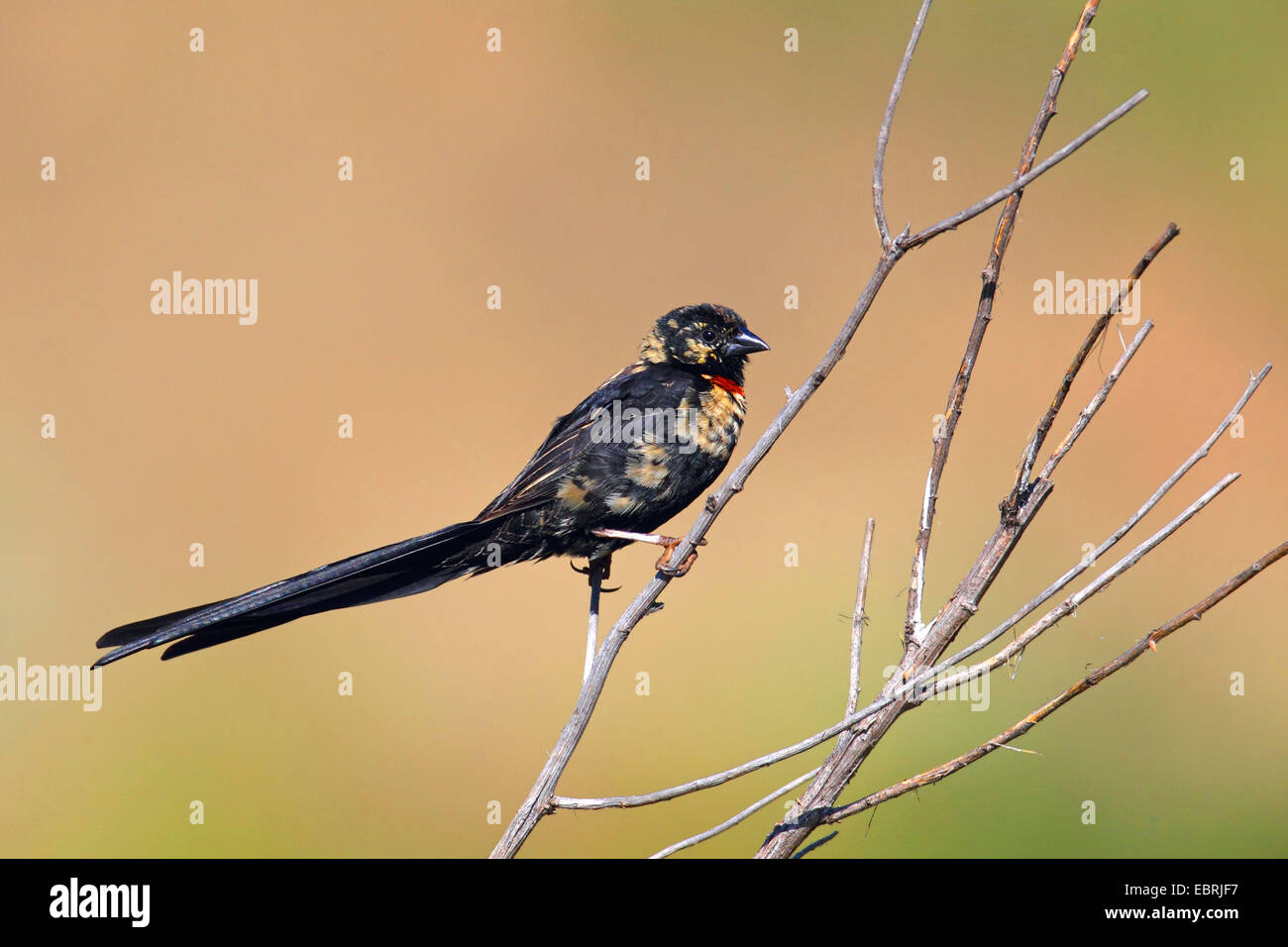 red-collared whydah (Euplectes ardens), male sits on a shrub, South Africa, North-West Province, Kgaswane Mountain - Stock Image