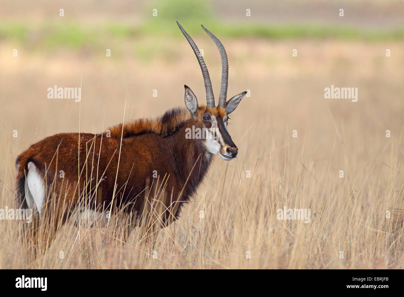 South African Sable Antelope (Hippotragus niger niger), female in savannah, South Africa, Kgaswane Mountain Reserve Stock Photo