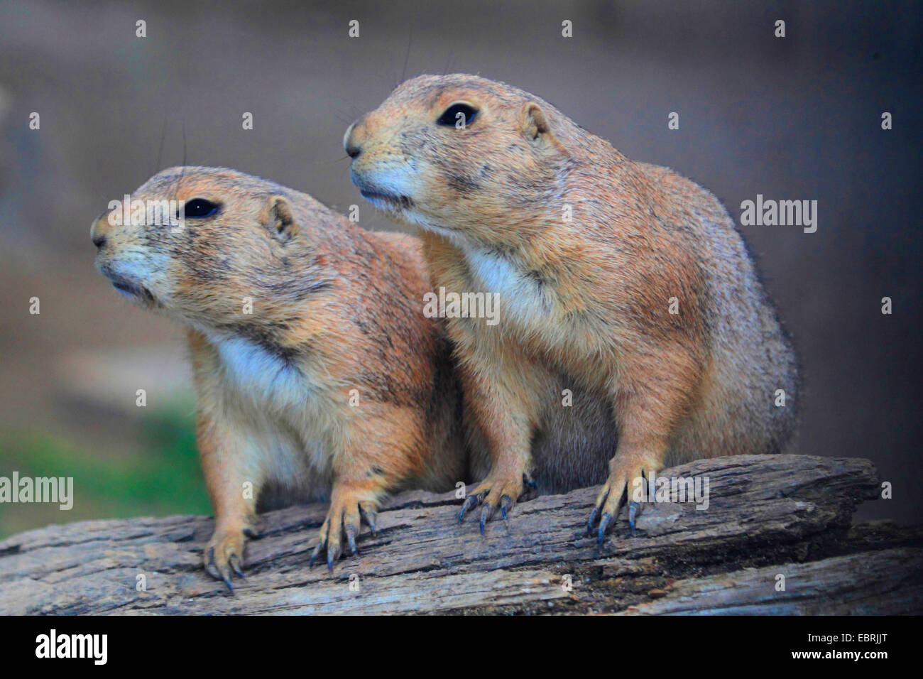 Two prairie dogs stock photos two prairie dogs stock images alamy black tailed prairie dog plains prairie dog cynomys ludovicianus two next m4hsunfo