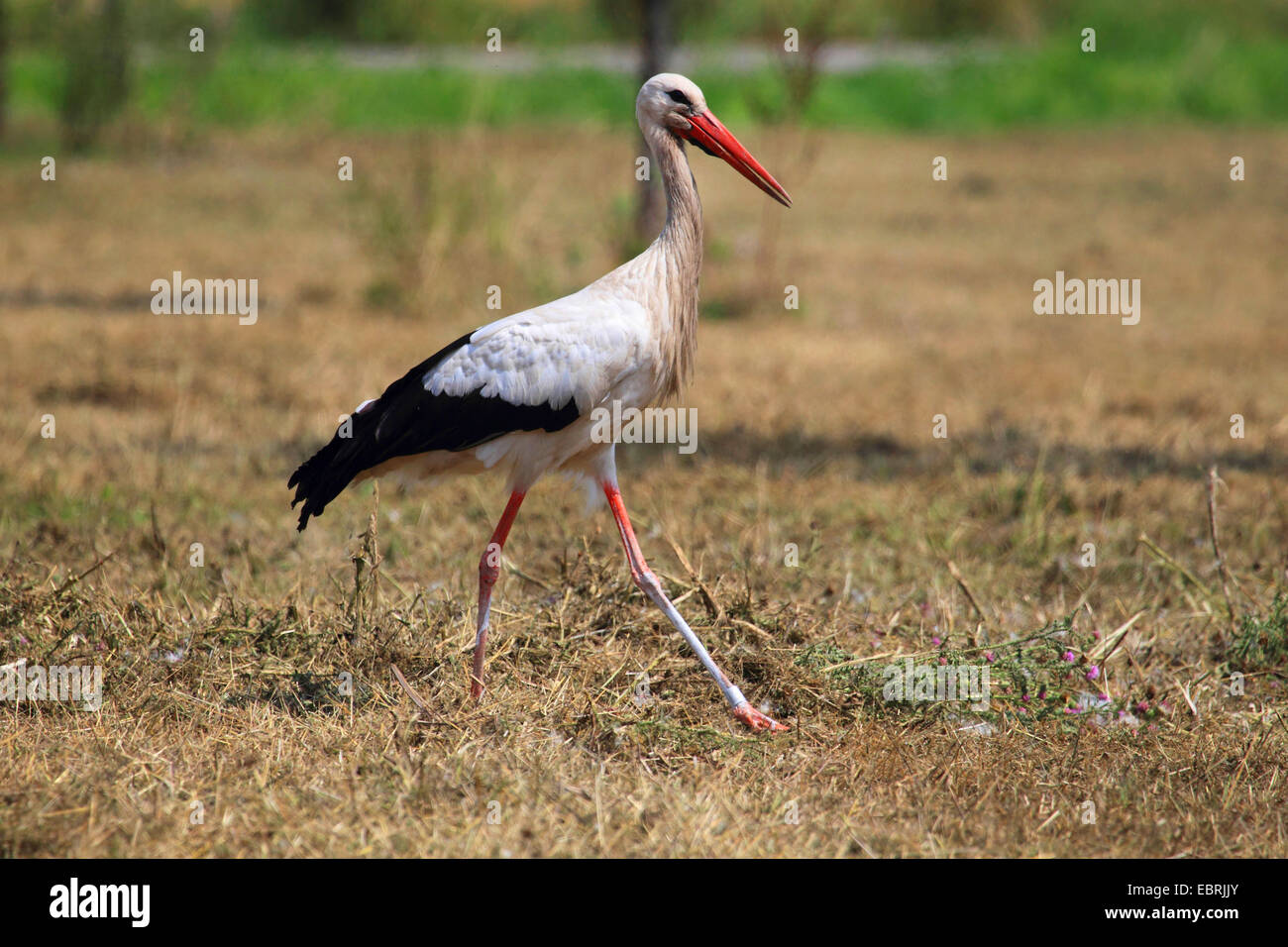 white stork (Ciconia ciconia), in a stubble field, Germany - Stock Image