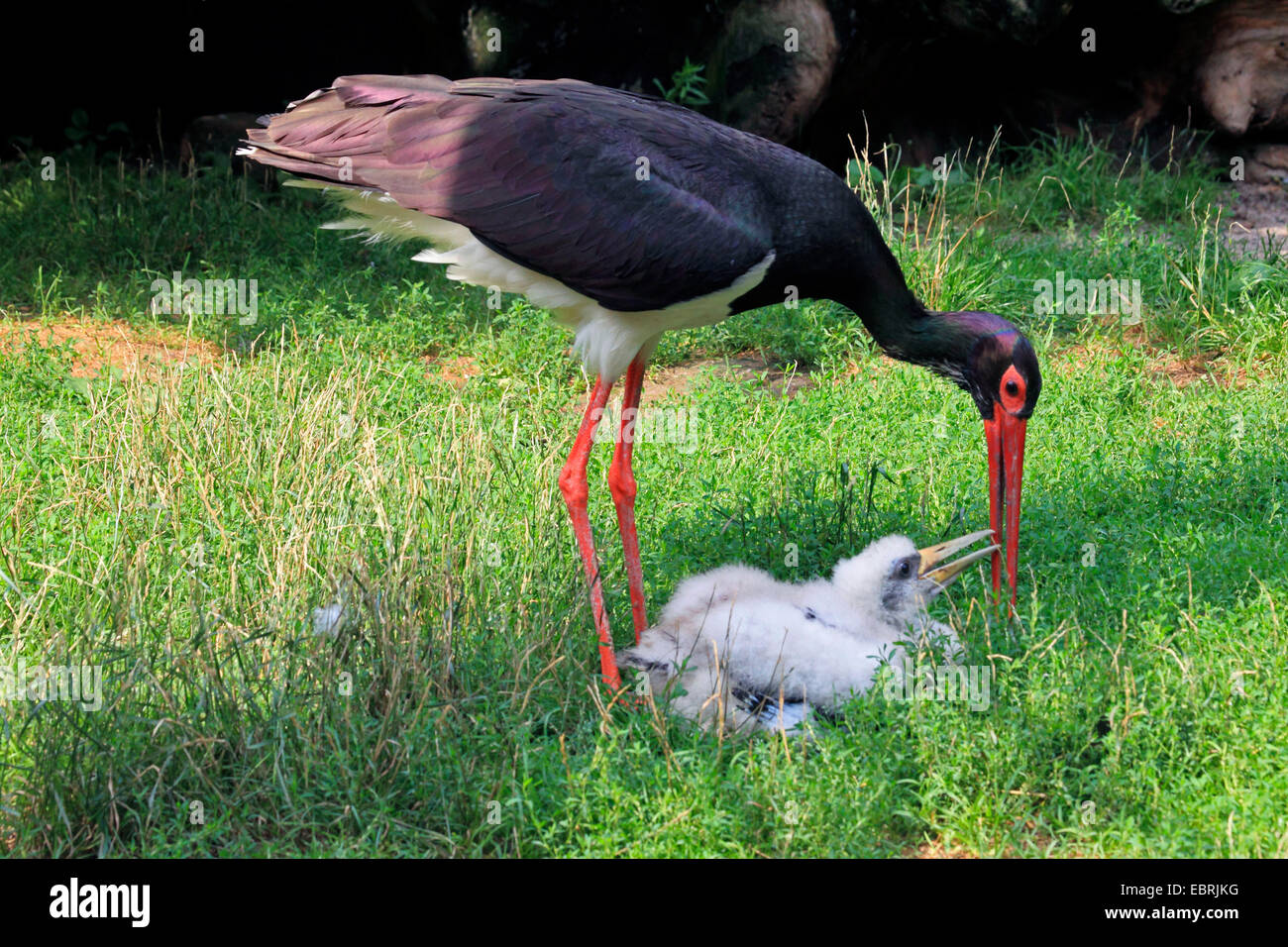 black stork (Ciconia nigra), adult with stork chick, Germany Stock Photo