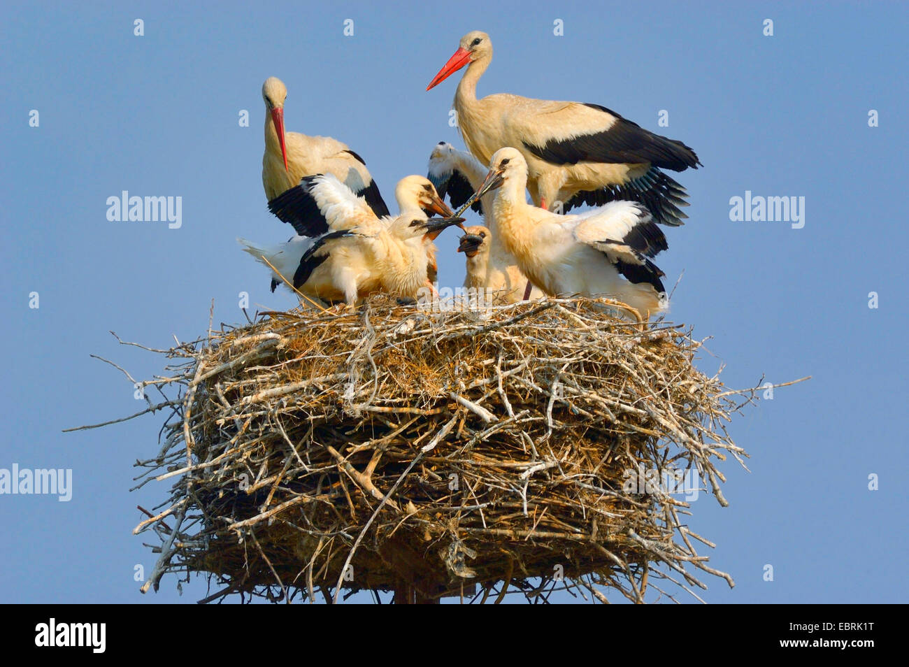 white stork (Ciconia ciconia), family on the nest, feeding of the squeakers with a colubrine snake, Hungary Stock Photo