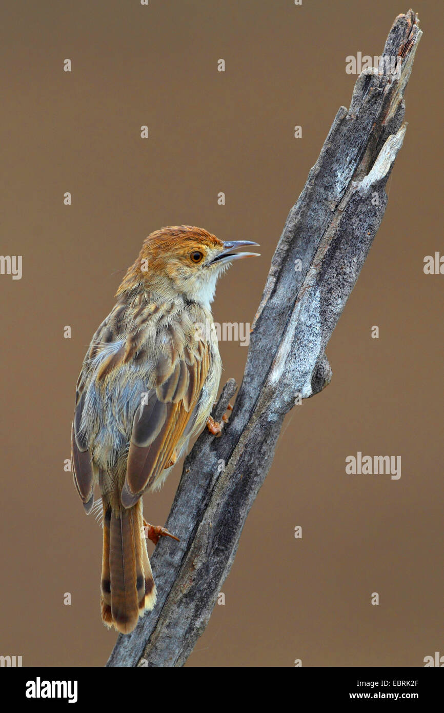Rattling cisticola (Cisticola chiniana), sits on a dead stem, South Africa, North West Province, Pilanesberg National - Stock Image