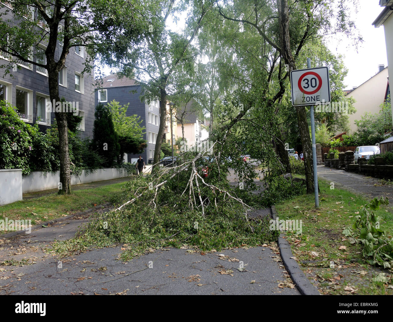 common birch, silver birch, European white birch, white birch (Betula pendula, Betula alba), fallen birch blocking - Stock Image