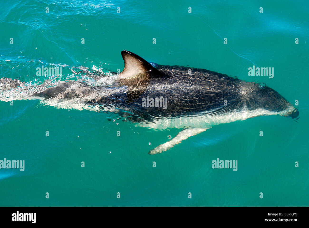 Gray's dusky dolphin (Lagenorhynchus obscurus), swimming at the water surface, New Zealand, Southern Island, - Stock Image