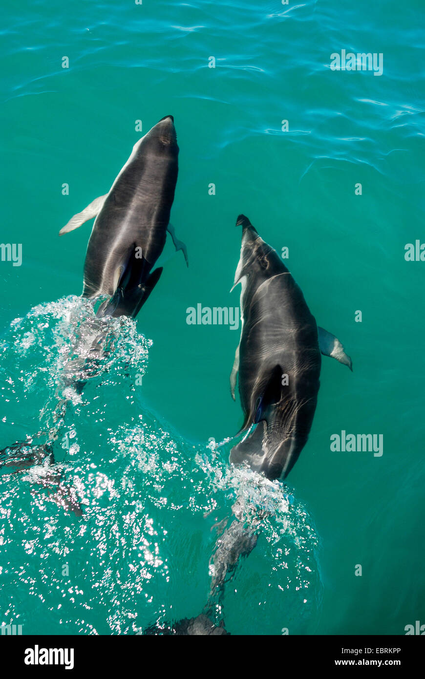 Gray's dusky dolphin (Lagenorhynchus obscurus), view from above on two animals swimmingside by side at the water - Stock Image