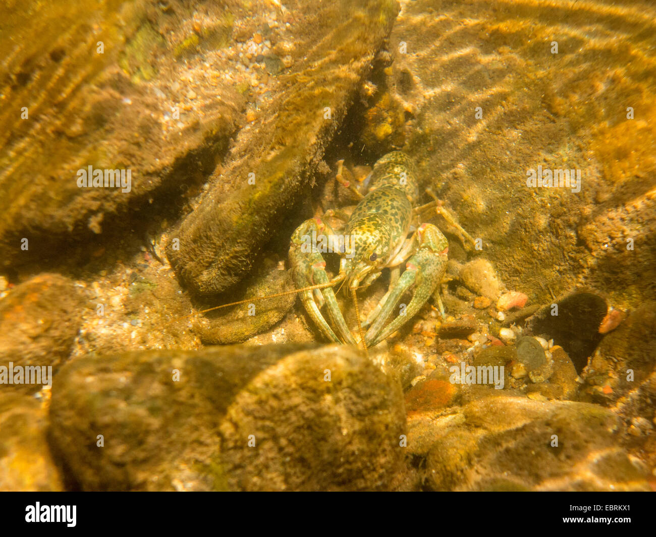Creole painted crayfish (cf. Orconectes palmeri creolanus), on the river ground, USA, Tennessee, Abrams creek - Stock Image