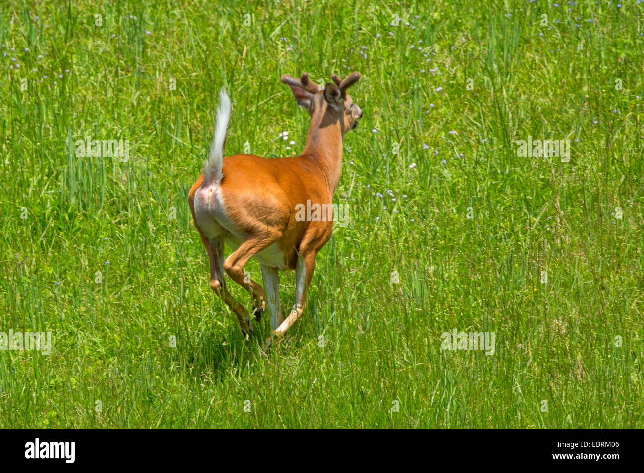 Key deer (Odocoileus virginianus clavium), fleeing male, USA, Tennessee, Great Smoky Mountains National Park - Stock Image