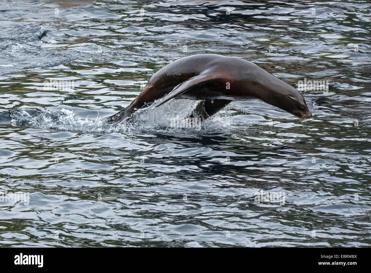 Californian sea lion (Zalophus californianus), jumps out of the water - Stock Image