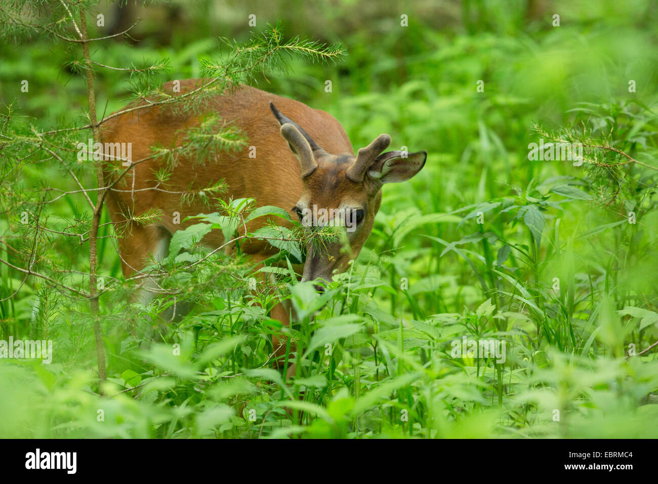 White-tailed deer (Odocoileus virginianus), browsing between herbaceous perennials, USA, Tennessee, Great Smoky - Stock Image