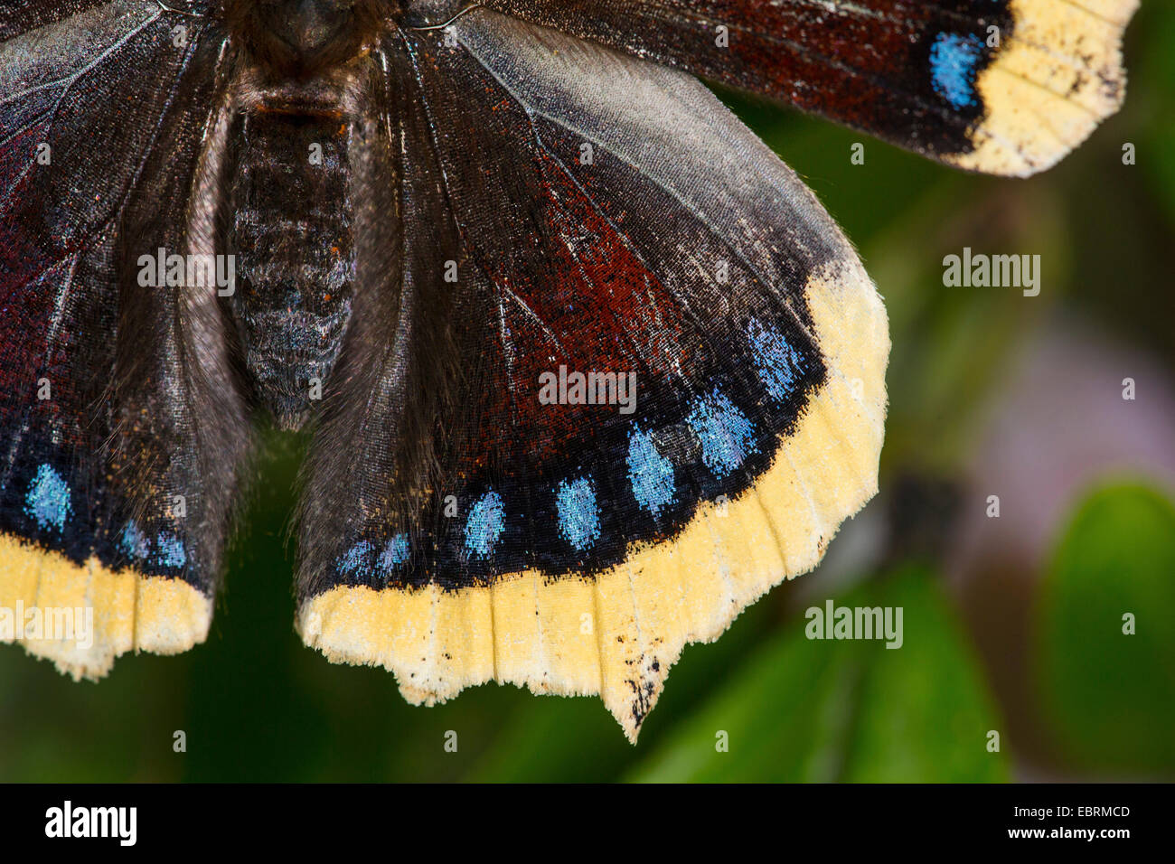 Camberwell beauty (Nymphalis antiopa), detail of a wing, Germany - Stock Image