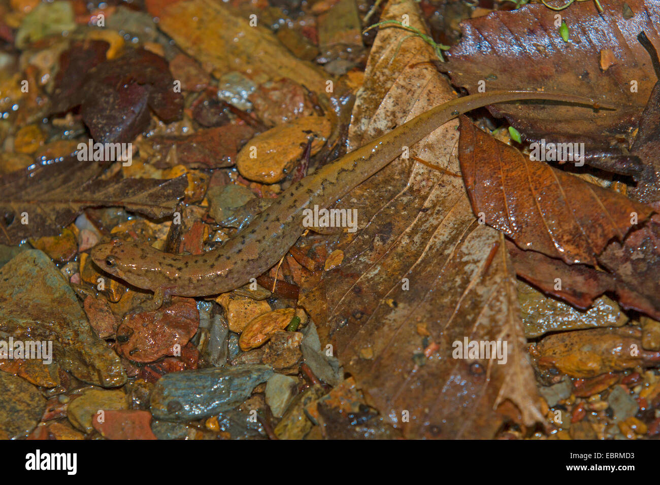 Seepage salamander  (cf. Desmognathus aeneus), on wet forest floor, USA, Tennessee, Great Smoky Mountains National - Stock Image