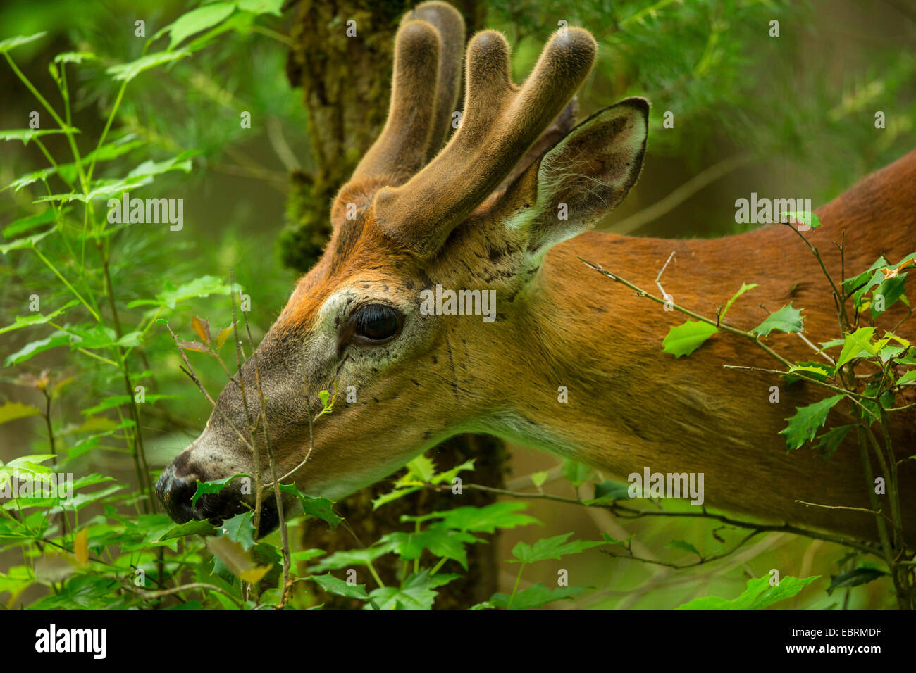 White-tailed deer (Odocoileus virginianus), browsing, portrait with antler in neoformation of the velvet, USA, Tennessee, - Stock Image
