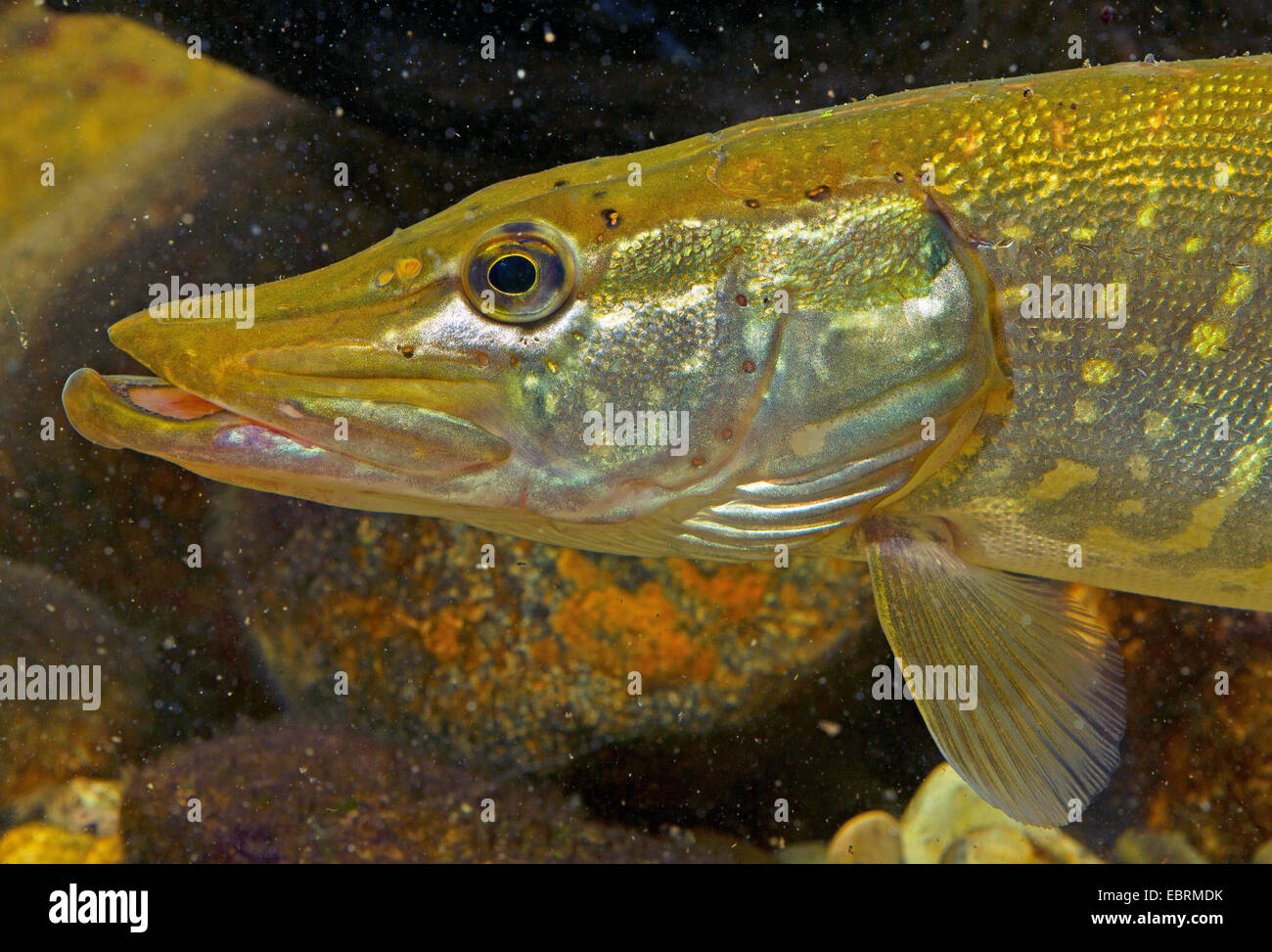 Pike Northern Pike Esox Lucius Stock Photos & Pike ...