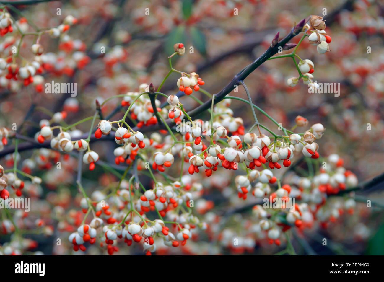 climbing euonymus, wintercreeper euonymus, winter-creeper (Euonymus fortunei 'Vegetus', Euonymus fortunei - Stock Image