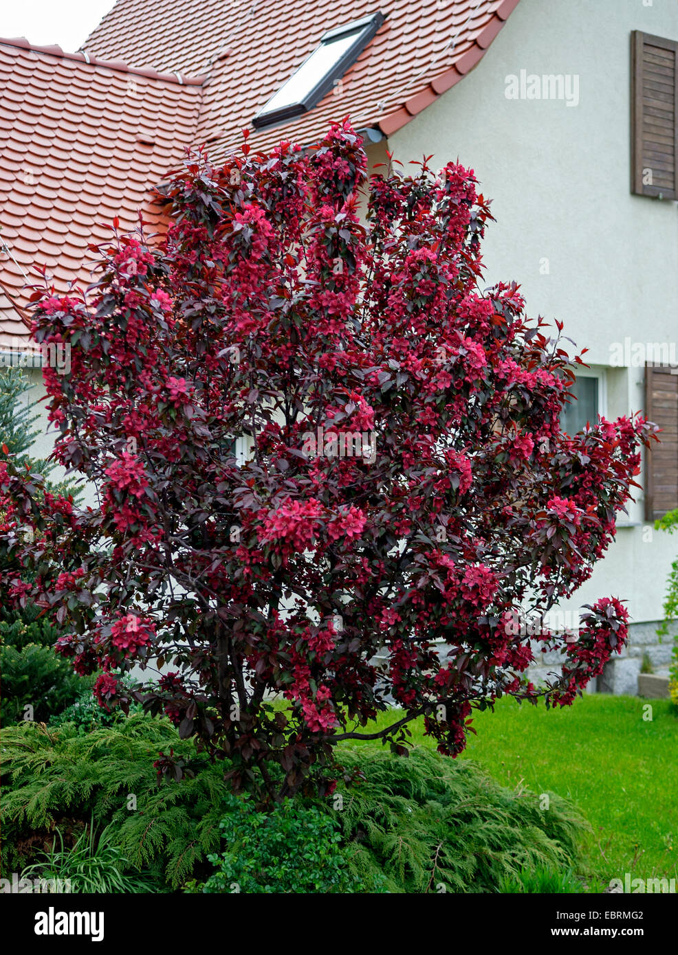 ornamental apple tree (Malus 'Royalty', Malus Royalty), cultiar Royalty, Germany - Stock Image