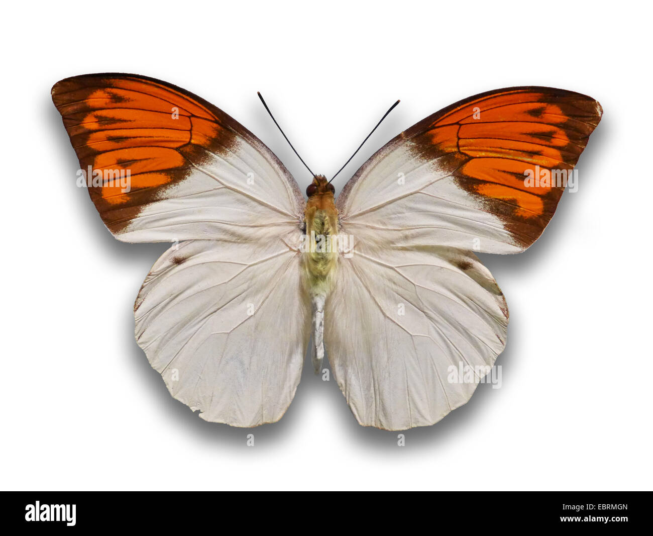 tropical butterfly, cutout - Stock Image