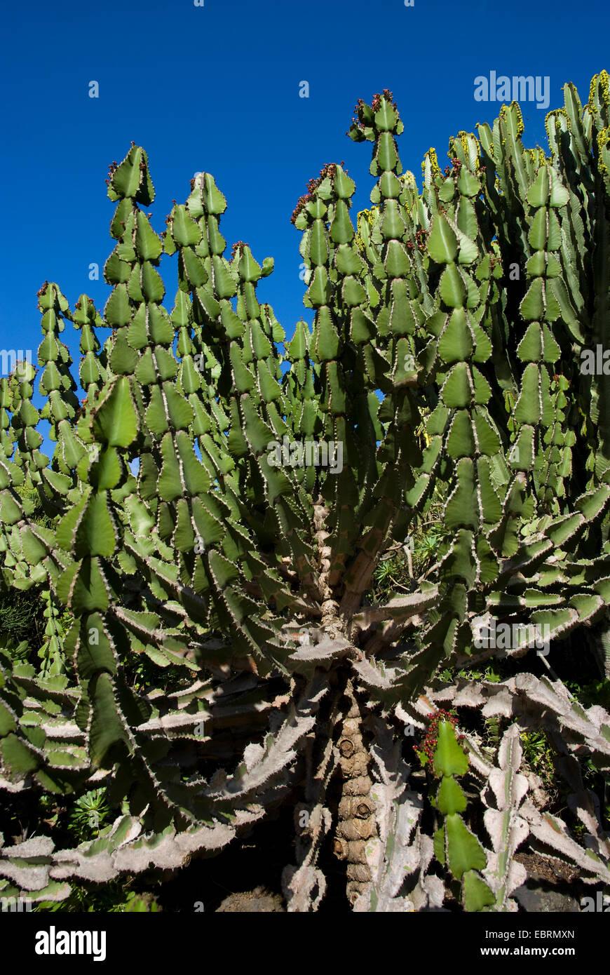 Transvaal caldelabra tree (Euphorbia cooperi), Canary Islands, Gran Canaria - Stock Image