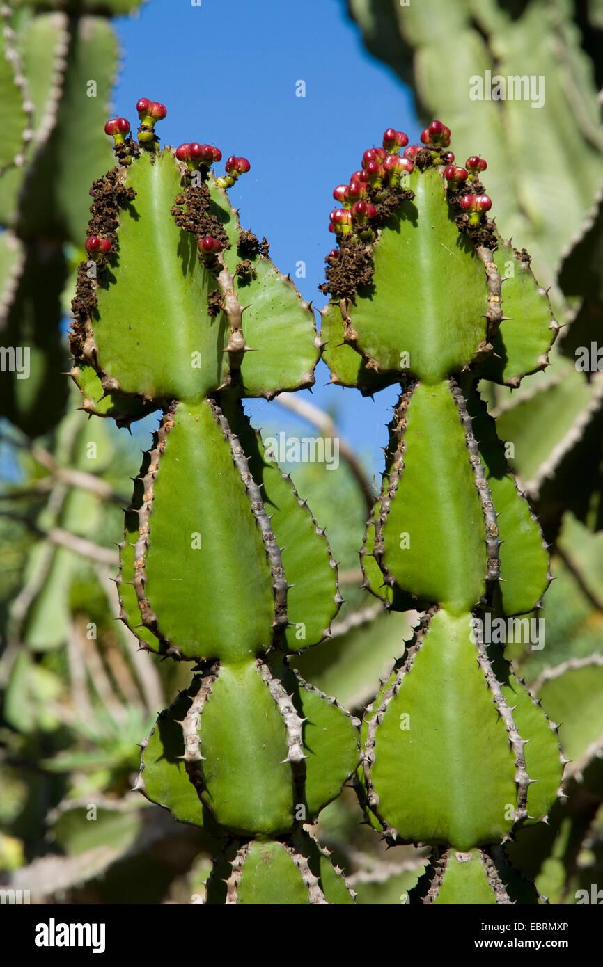 Transvaal caldelabra tree (Euphorbia cooperi), with fruits, Canary Islands, Gran Canaria - Stock Image