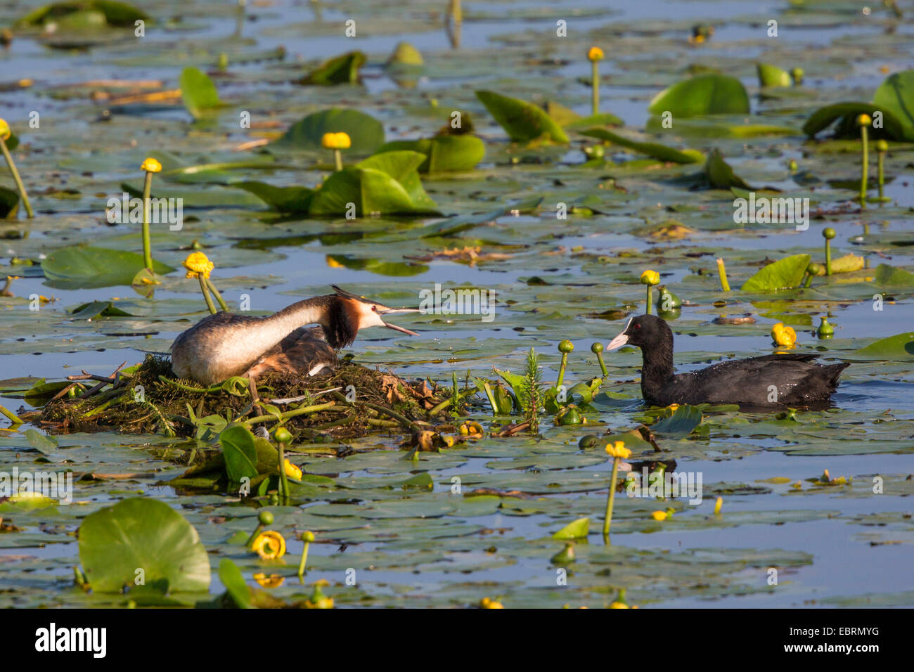 great crested grebe (Podiceps cristatus), in its nest,  threatens Eurasian coot, Germany, Bavaria, Lake Chiemsee - Stock Image