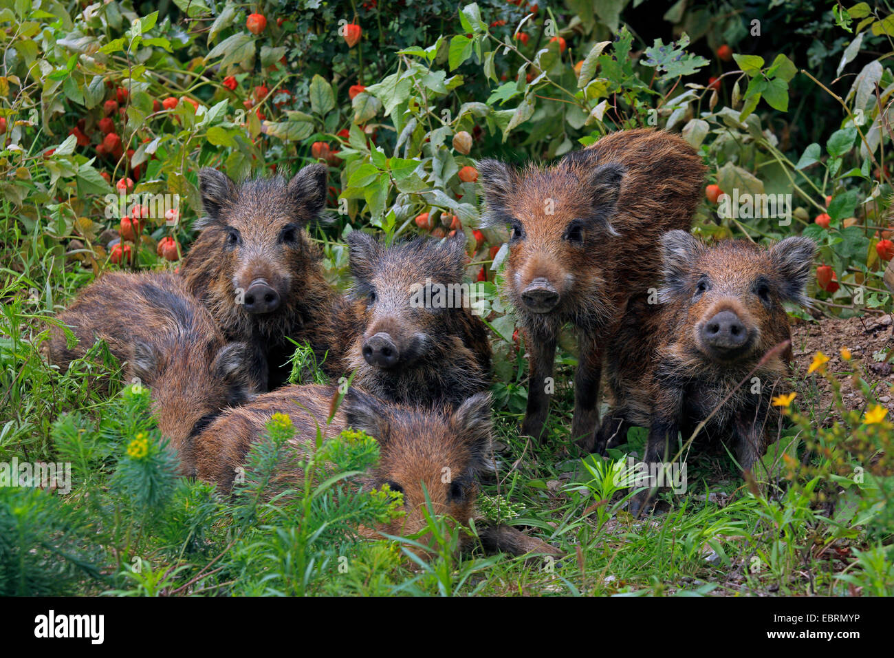 wild boar, pig, wild boar (Sus scrofa), shotes in the garden, Germany, Baden-Wuerttemberg Stock Photo