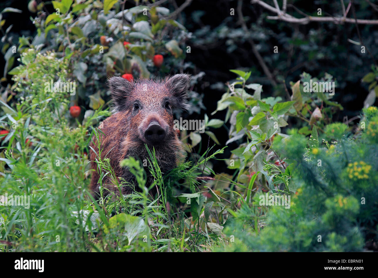 wild boar, pig, wild boar (Sus scrofa), shote standing in the shrub, Germany, Baden-Wuerttemberg - Stock Image