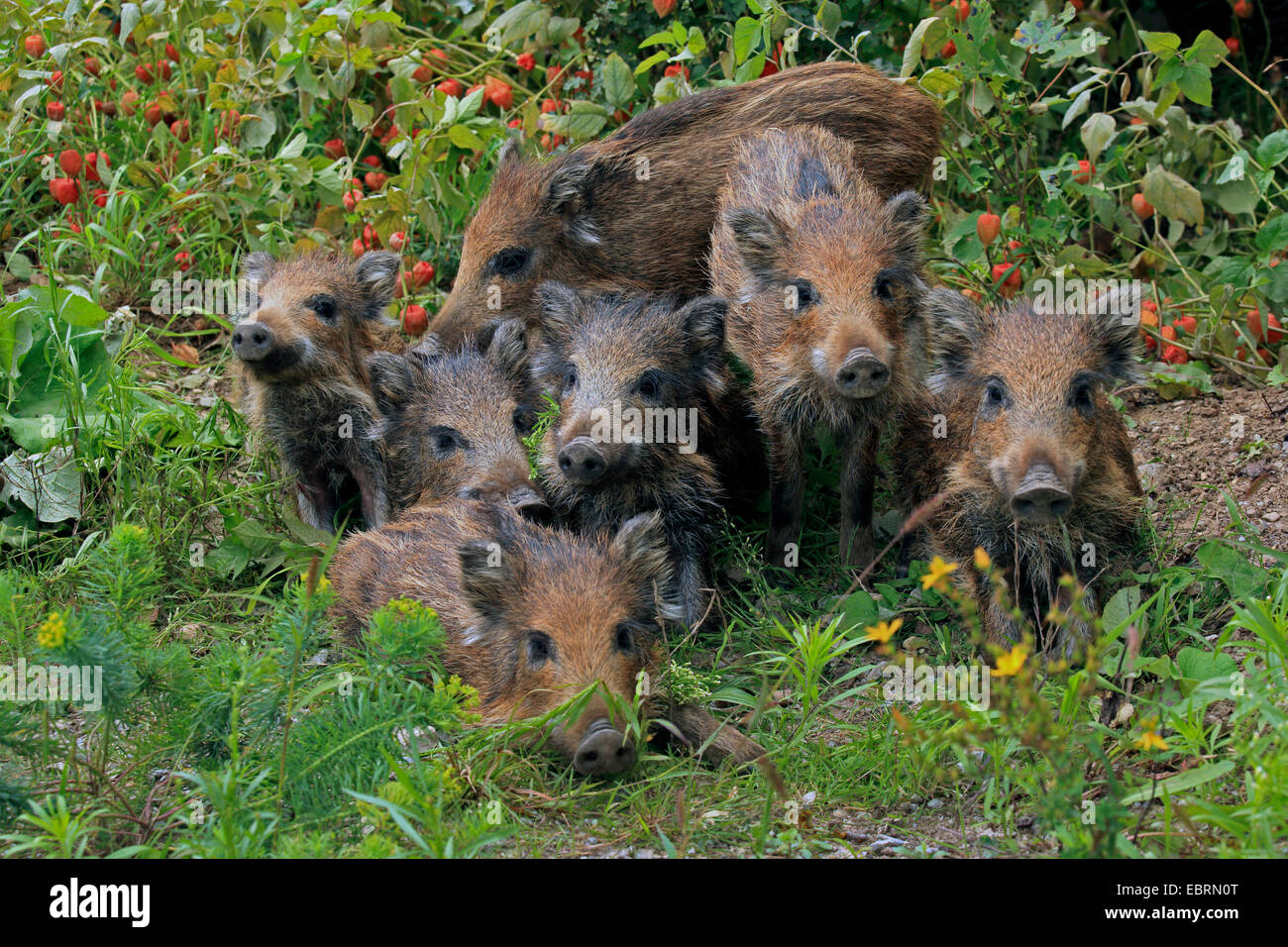 wild boar, pig, wild boar (Sus scrofa), wild sow with shotes in the garden, Germany, Baden-Wuerttemberg - Stock Image