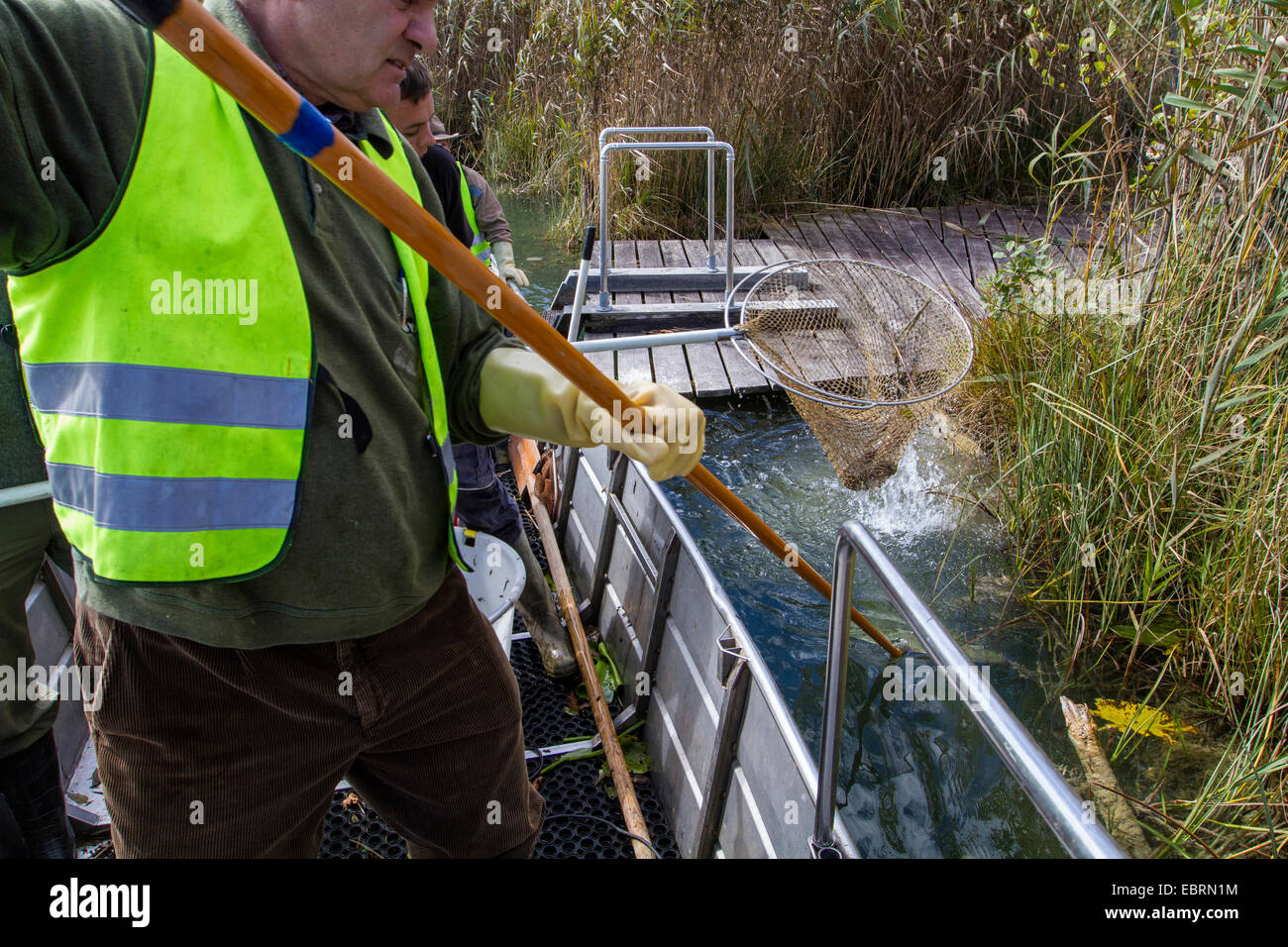 electrofishing at a lake shore for population control, Germany - Stock Image