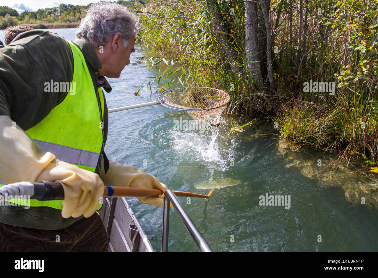 electrofishing at a lake shore for population control, catching eel, Germany - Stock Image