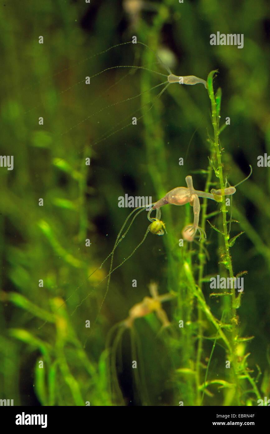 brown European hydra (Hydra vulgaris), colony eith caught Cyclops - Stock Image