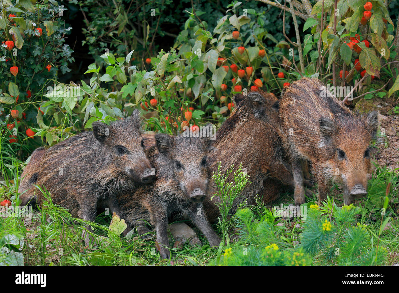 wild boar, pig, wild boar (Sus scrofa), shotes standing together in the garden, Germany, Baden-Wuerttemberg - Stock Image