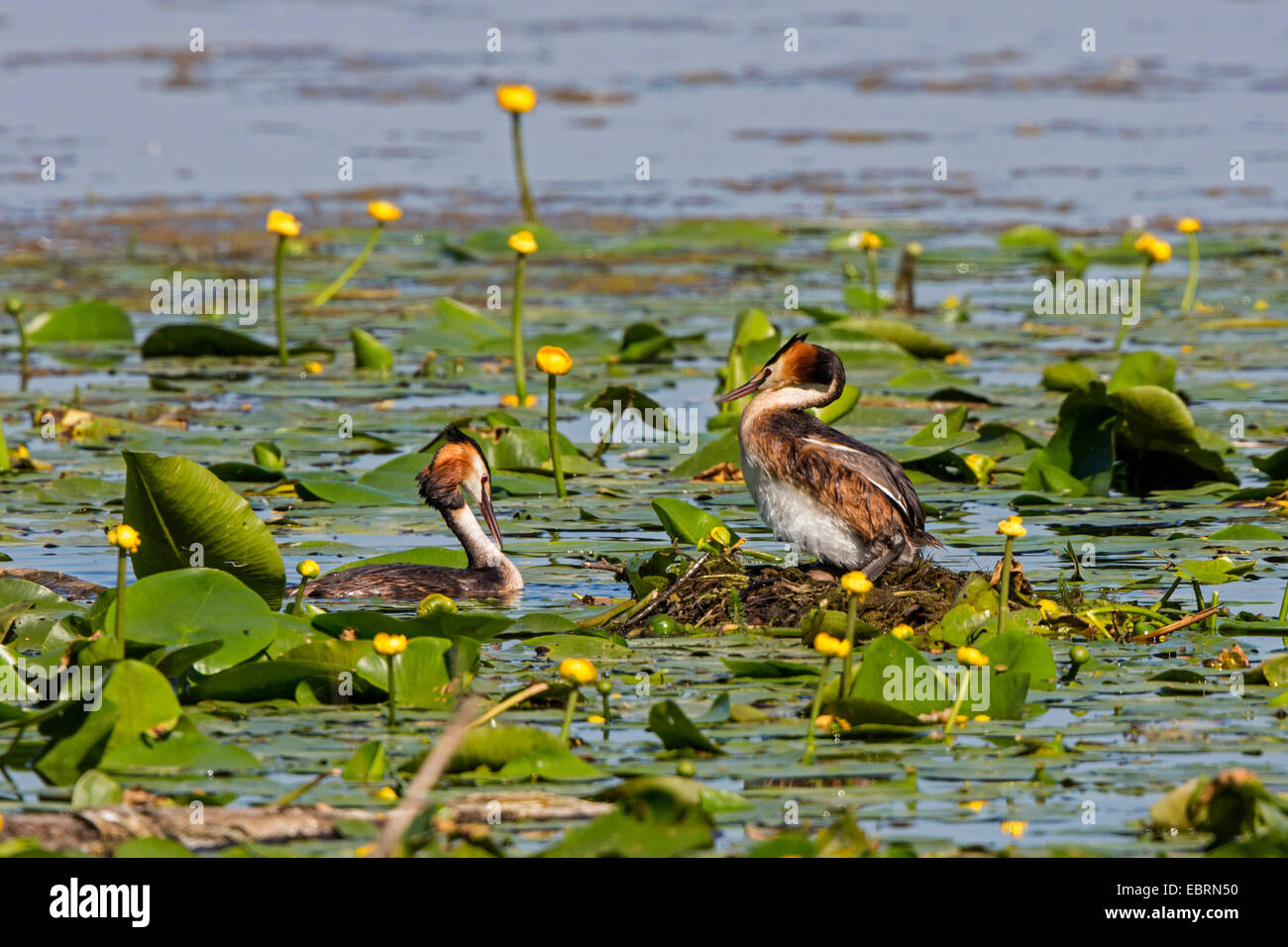 great crested grebe (Podiceps cristatus), couple at the nest with egg, Germany, Bavaria, Lake Chiemsee - Stock Image