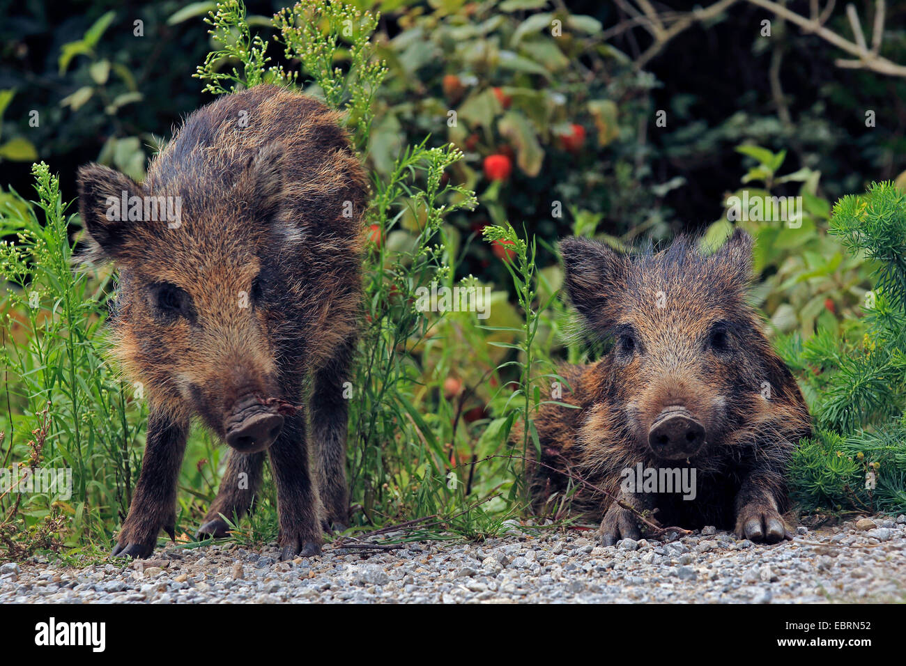 wild boar, pig, wild boar (Sus scrofa), two shotes in the shrub, Germany, Baden-Wuerttemberg - Stock Image