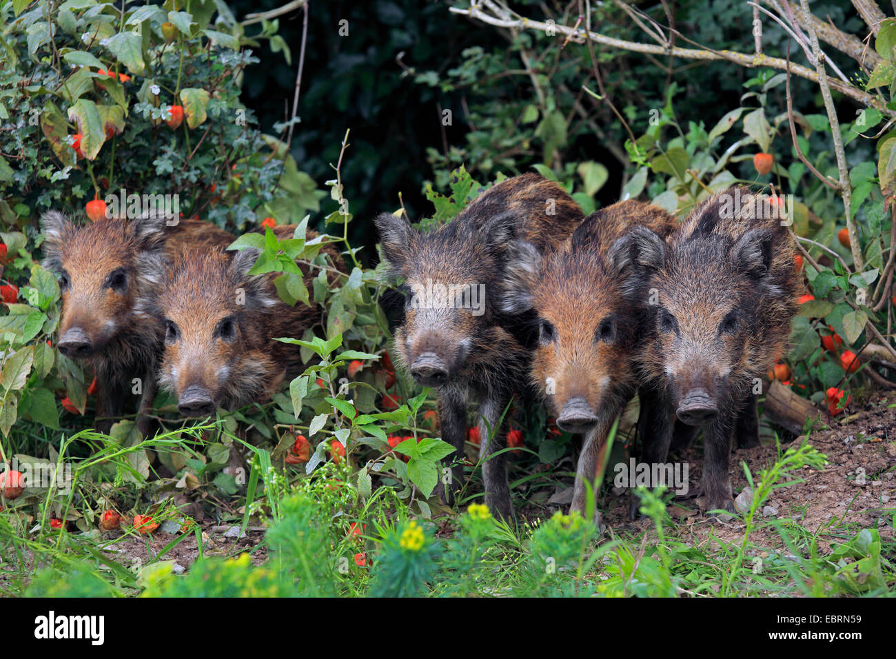 wild boar, pig, wild boar (Sus scrofa), five shotes standing together in the garden, Germany, Baden-Wuerttemberg - Stock Image